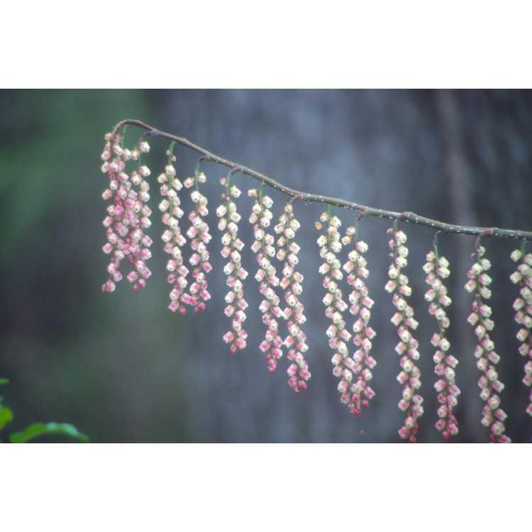 Stachyurus praecox 'Rubriflora' - pink spike-tail