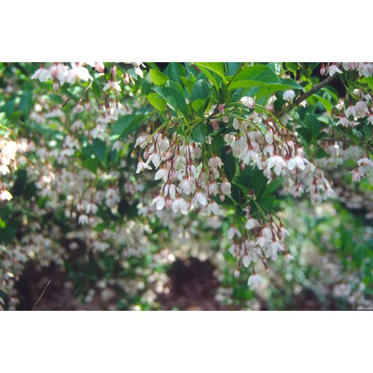 Styrax japonicus 'Pink Chimes' - pink Japanese snowbell