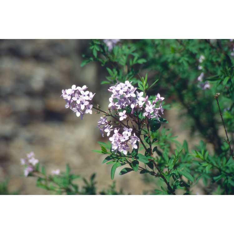 Syringa ×laciniata - cutleaf lilac