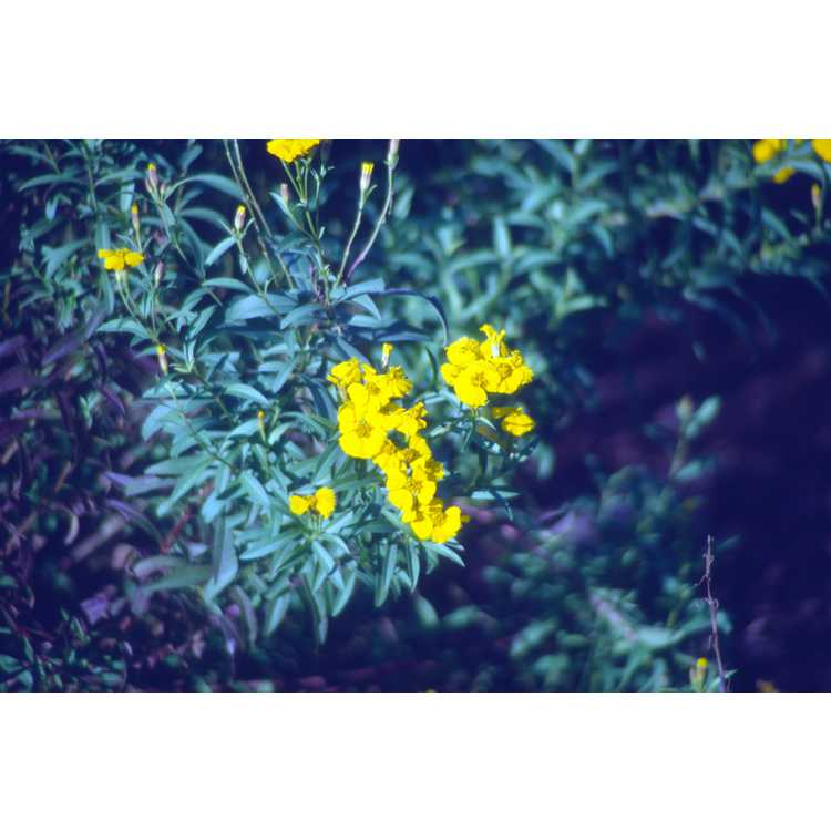 Tagetes lucida - sweet-scented Mexican marigold