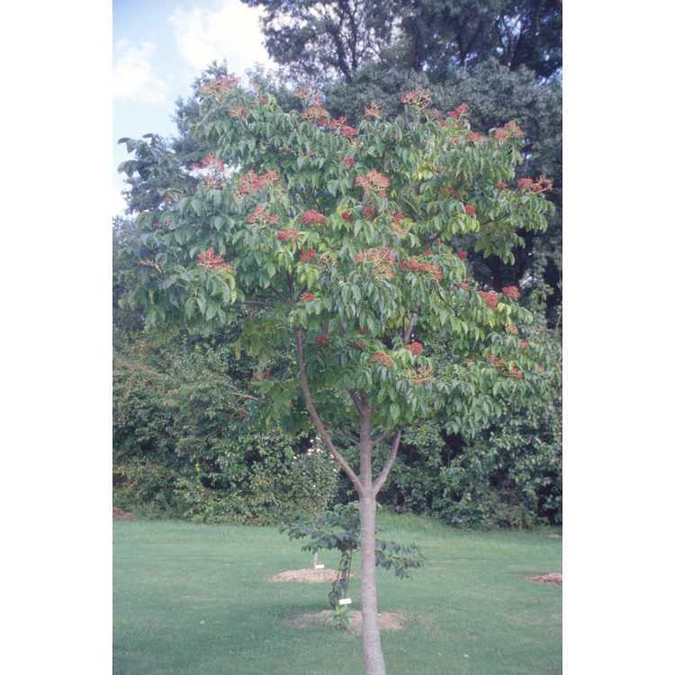 Tetradium daniellii - bee-bee tree