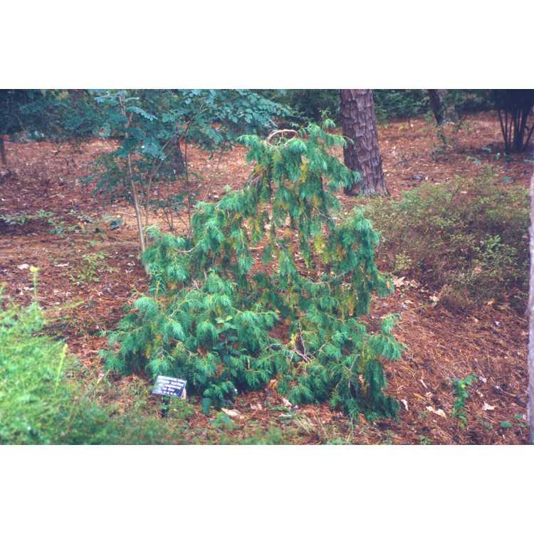 Thuja occidentalis 'Pendula' - weeping American arborvitae
