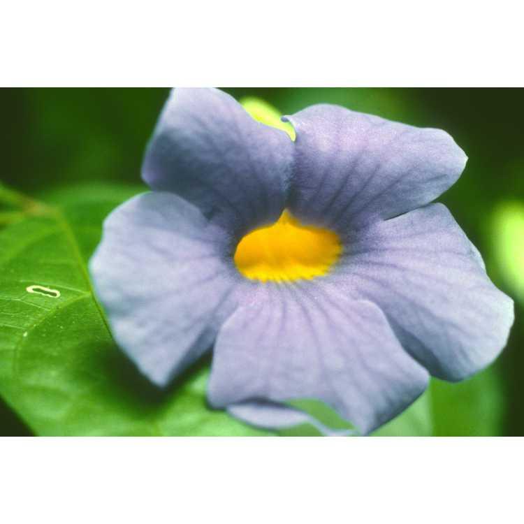 Thunbergia battiscombei