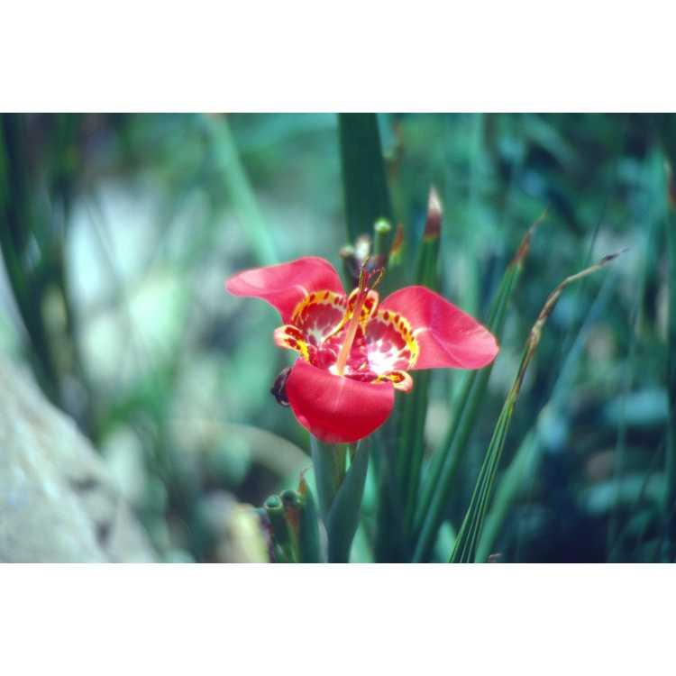 Tigridia pavonia - Mexican shellflower