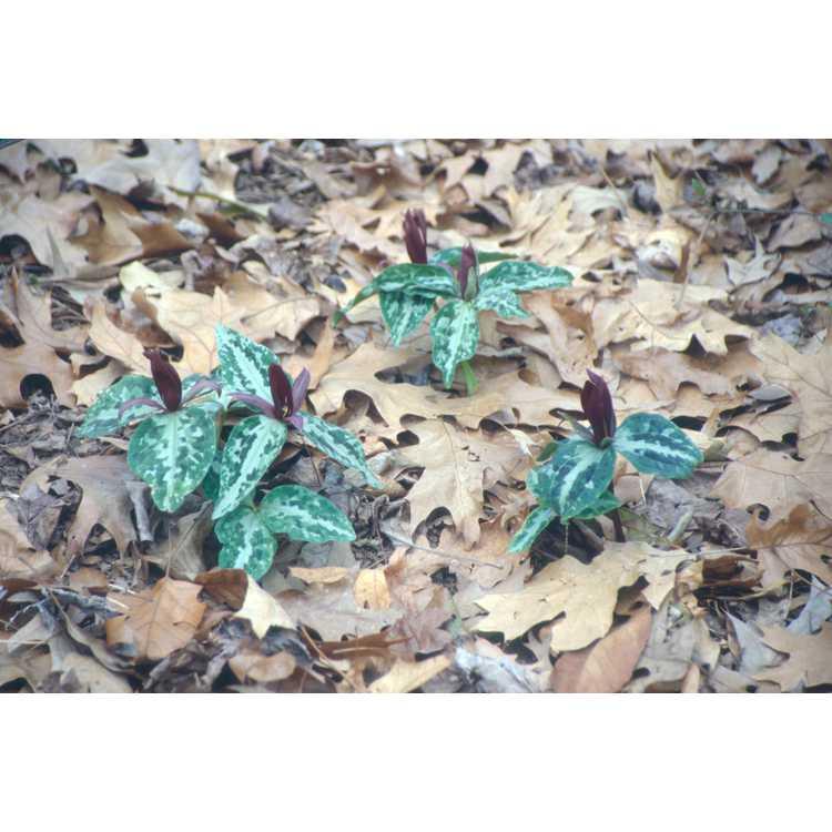 Trillium underwoodii - longbract wakerobin