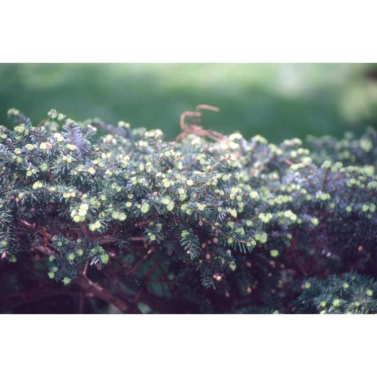 Tsuga diversifolia - northern Japanese Hemlock
