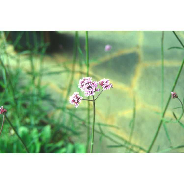 Verbena bonariensis - Argentina verbena
