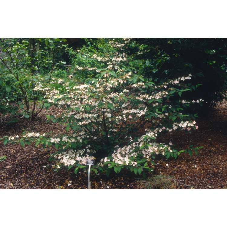 Viburnum plicatum f. tomentosum 'Pink Beauty' - pink doublefile viburnum