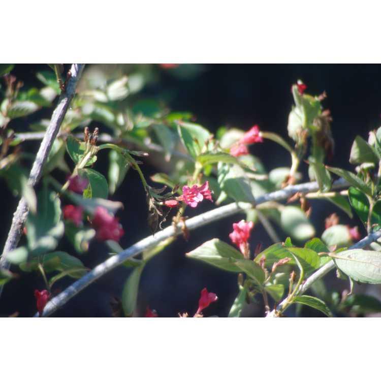 Weigela florida - flowering weigela