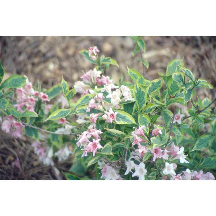 Weigela 'Nana Variegata' - dwarf variegated common weigela