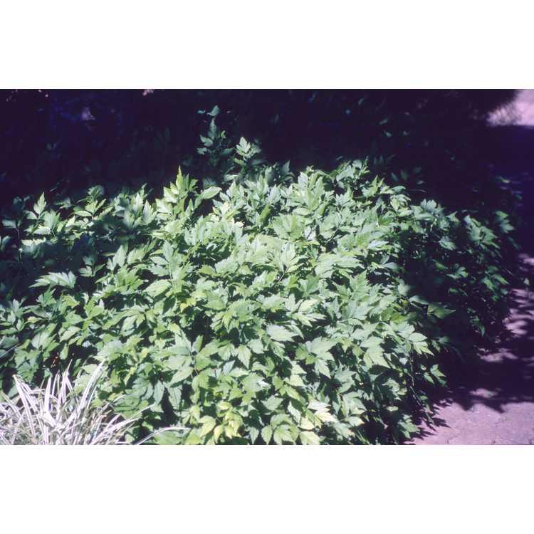 Xanthorhiza simplicissima - yellowroot