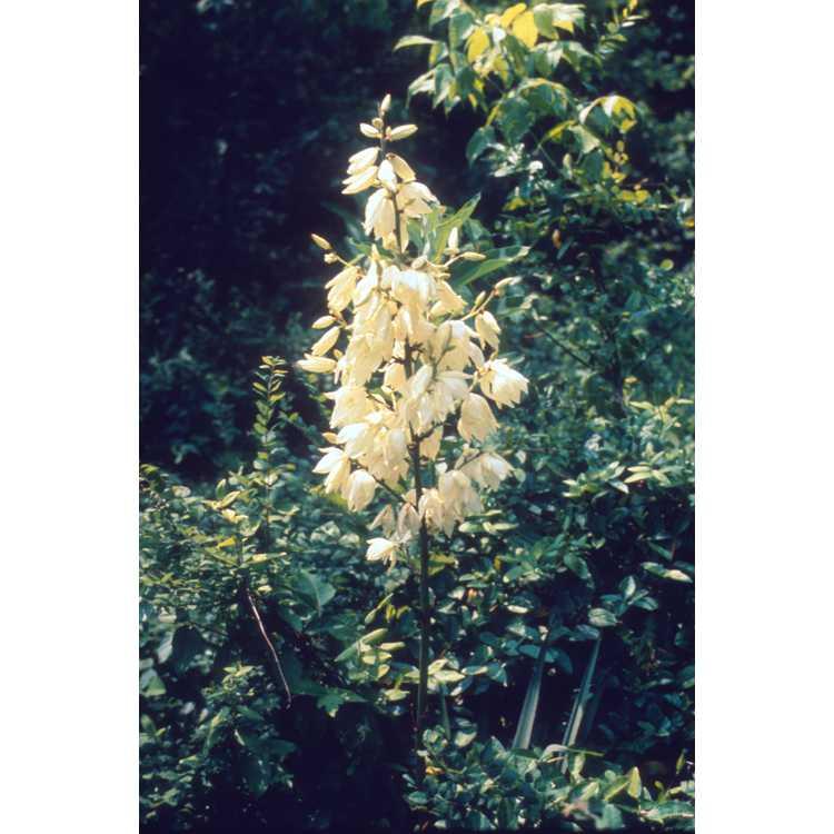 Yucca filamentosa - Adam's needle yucca