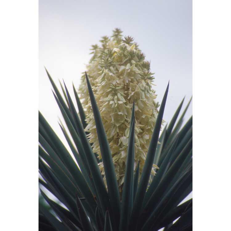 Yucca torreyi - Torrey yucca