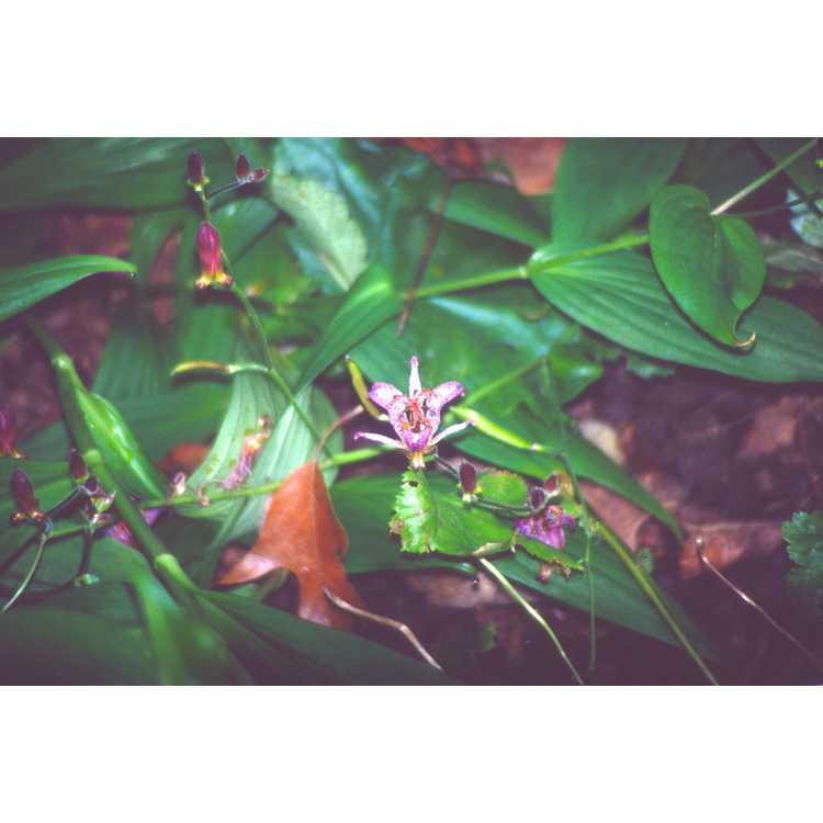 Tricyrtis formosana - toad lily
