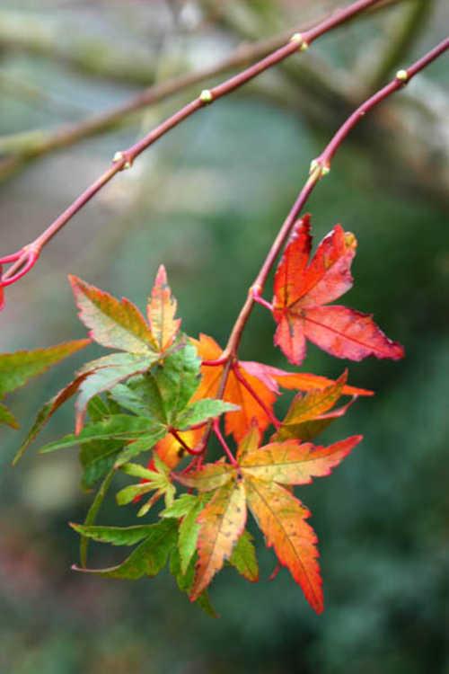 Acer palmatum 'Higasa yama' (variegated Japanese maple)