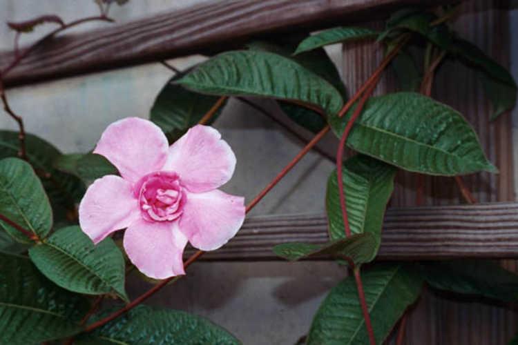 Mandevilla ×amabilis 'Rita Marie Green' (Pink Parfait double-flowered mandevilla)