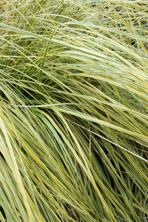 Cortaderia selloana 'Aureolineata' (gold-stripe Pampas grass)