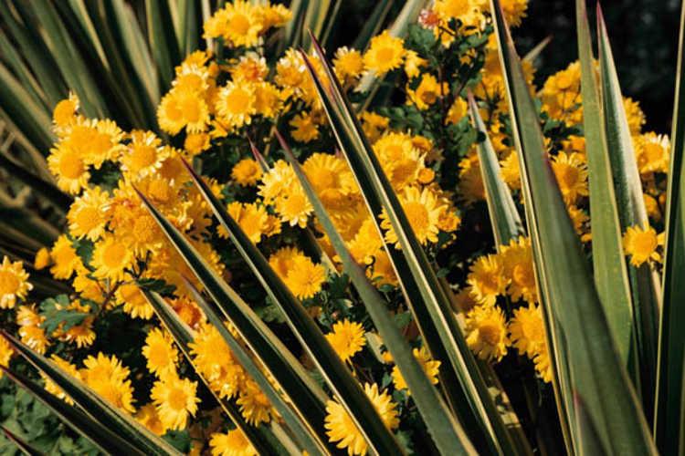 Chrysanthemum 'Golden Lida Thomas' (garden chrysanthemum) and Yucca aloifolia 'Variegata' (variegated Spanish bayonet)