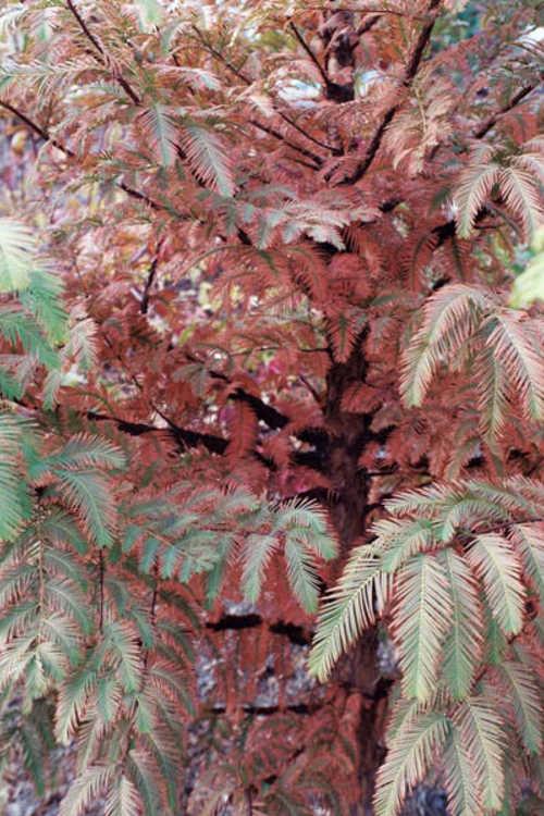 Metasequoia honshuenensis (big-cone dawn redwood)
