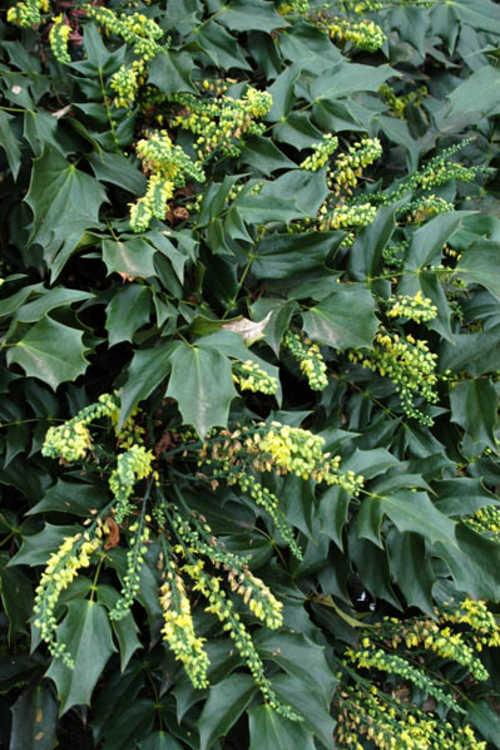 Mahonia (Yucca Do hybrids) (grapeholly)
