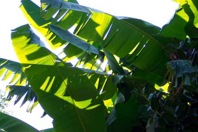 Musa basjoo (textile banana)