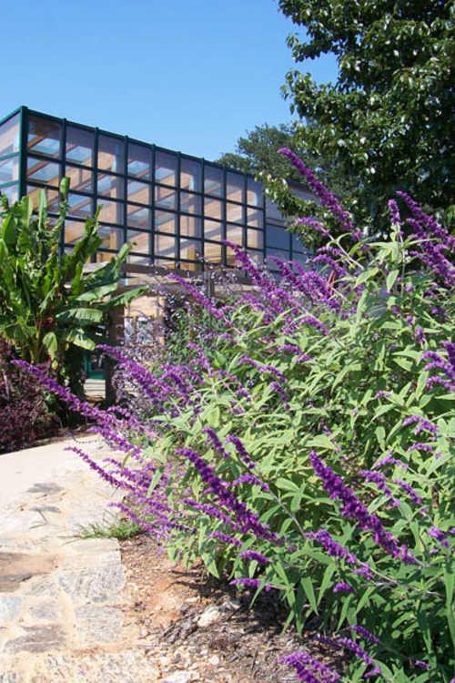 Salvia leucantha 'Eder' (variegated Mexican bush sage)