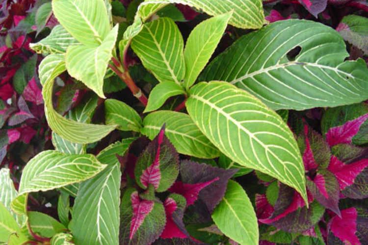Perilla 'Magilla' (tricolor perilla) and Sanchezia speciosa (tiger plant)