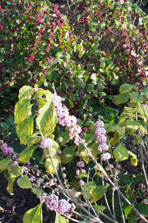 Callicarpa americana 'Welch's Pink' (pink American beautyberry) and Symphoricarpos ×doorenbosii 'Magic Berry' (Doorenbos coralberry)