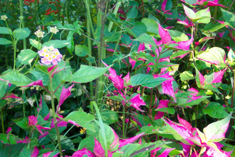 Alternanthera ficoidea 'Party Time' (Joseph's coat)