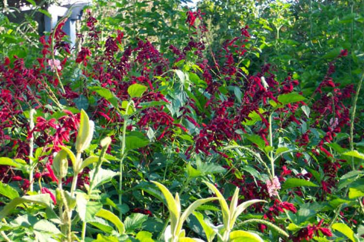 Salvia splendens 'Van Houttei' (Van Houtte salvia)