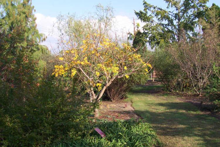 Koelreuteria paniculata 'Beachmaster' (dwarf goldenrain tree)