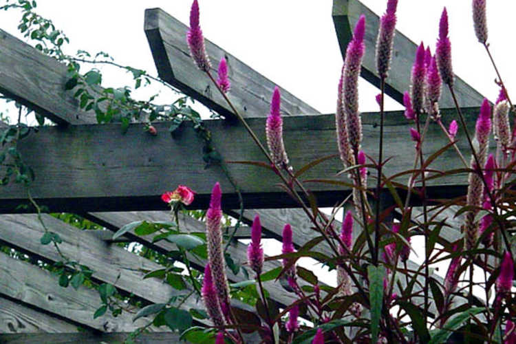 Celosia argentea var. argentea Spicata Group (wheatstraw celosia)