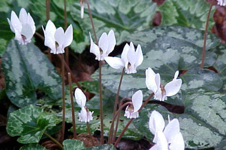 Asarum splendens (Chinese wild ginger) and Cyclamen hederifolium var. hederifolium f. albiflorum (hardy cyclamen)