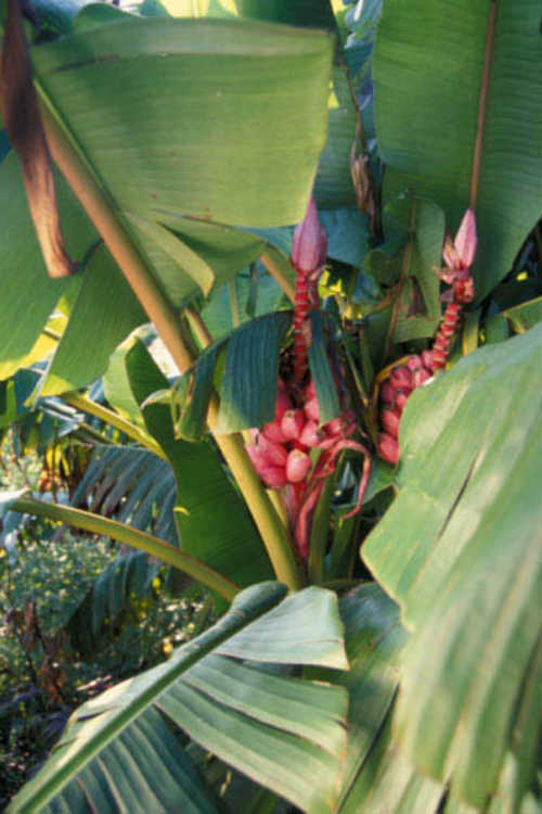 Musa velutina (pink velvet banana)