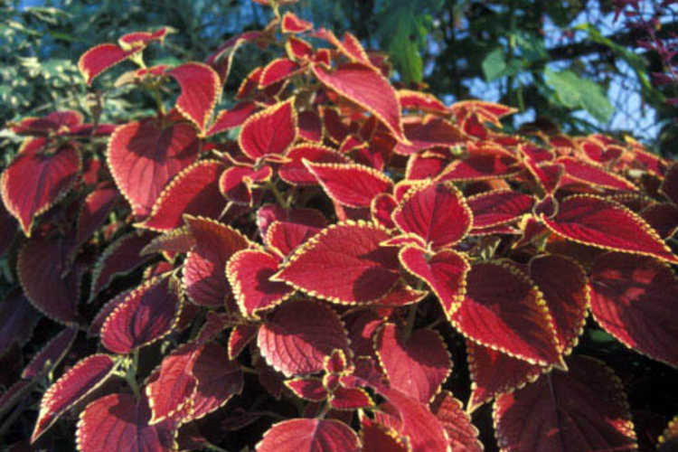 The Entry Garden is lined with hundreds of exciting and colorful coleus.