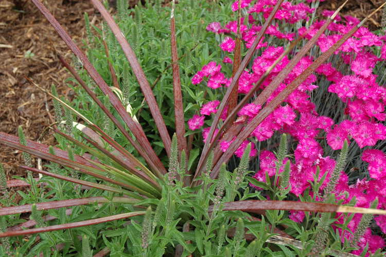 Agave (century plant) and Dianthus (pink) and Veronica