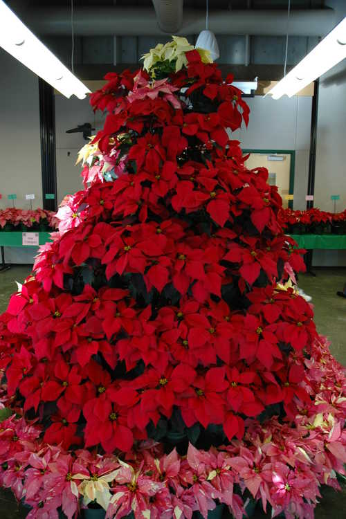 Poinsettia tree display
