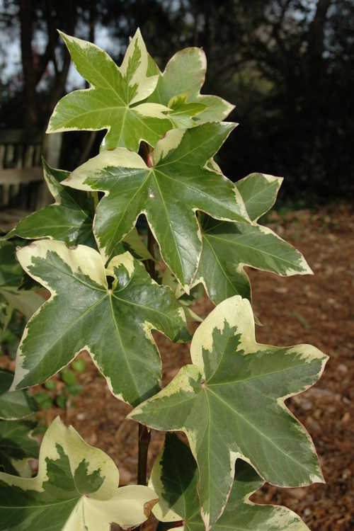 ×Fatshedera lizei 'Angyo Star' (variegated tree ivy)