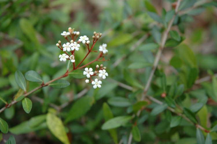 Viburnum obovatum 'Raulston Hardy' (dwarf viburnum)