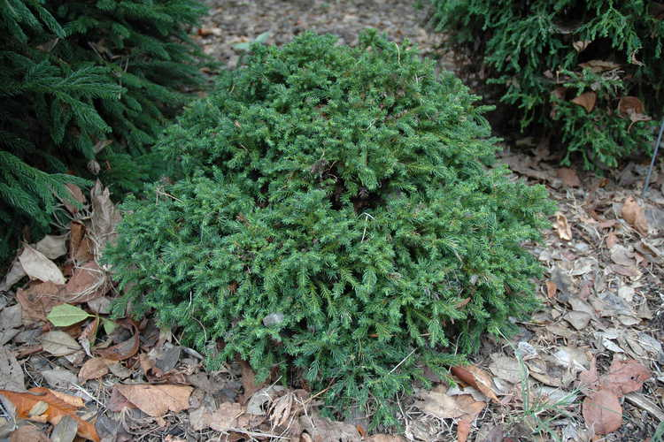 Cryptomeria japonica 'Koshyi' (dwarf Japanese-cedar)