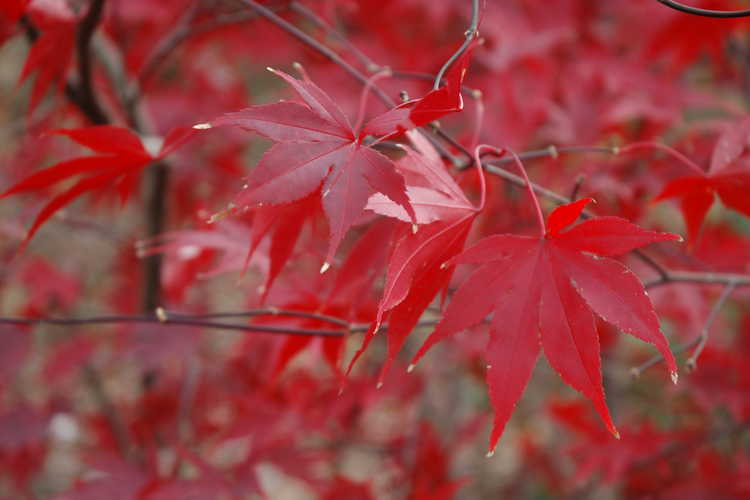 Acer palmatum 'Moonfire' (purple-leaf Japanese maple)