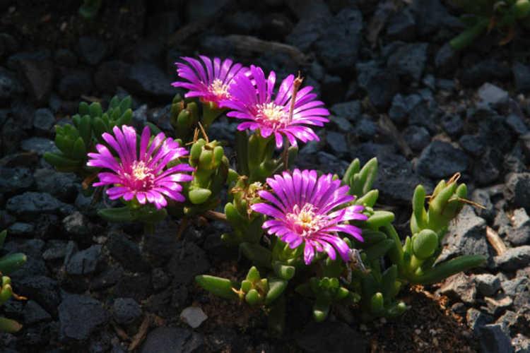 Delosperma ecklonis var. latifolia (ice-plant)