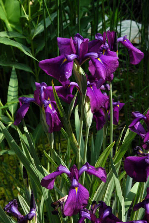 Iris ensata 'Variegata' (variegated Japanese iris)