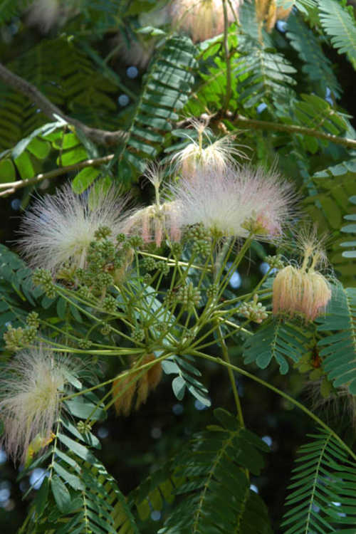Albizia kalkora (Indian mimosa)