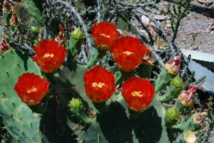 Opuntia ×alta (tall prickly-pear)