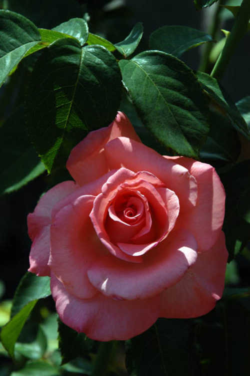 Rosa 'Kricarlo' (Touch of Class™ hybrid tea rose)