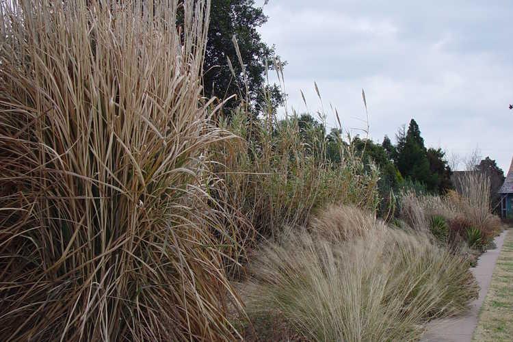 Saccharum arundinaceum (hardy sugarcane)