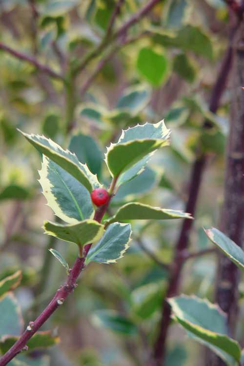 Ilex aquifolium 'Rubricaulis Aurea' (variegated English holly)