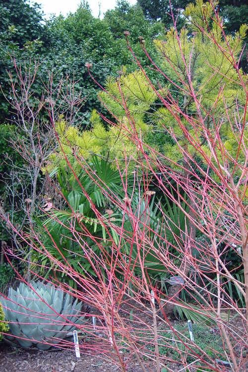 Agave parryi subsp. parryi var. huachucensis (Fort Huachuca barrel agave) and Cornus sanguinea 'Midwinter Fire' (bloodtwig dogwood) and Pinus virginiana 'Wate's Golden' (wintergold Virginia pine)
