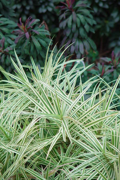 Carex phyllocephala 'Sparkler' (carnation grass) and Euphorbia ×martinii (wood spurge)